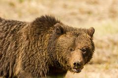 The look (ChicagoBob46) Tags: grizz grizzly grizzlybear bear sow yellowstone yellowstonenationalpark nature wildlife naturethroughthelens ngc coth5 npc
