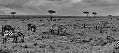 Masai Mara Game Reserve (gerard eder) Tags: world travel reise viajes africa kenya kenia masaimara natur nature naturaleza masai landscape landschaft wildlife paisajes panorama animals animales tiere safari eastafrica easternafrica