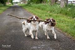 Belle and Jerry (David McKellar) Tags: belle brackenlees dogs jerry springerspaniels falkirk scotland unitedkingdom