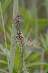 _IMG9368  Partioally dry and gaining wing colour (Pete.L .Hawkins Photography) Tags: fourspotted chaser libellula quadrimaculata messingham sands petehawkins petelhawkinsphotography petelhawkins petehawkinsphotography 150mm irix macro pentaxpictures pentaxk1 petehawkinsphotographycom f28 11 fantasticnature fabulousnature incrediblenature naturephoto wildlifephoto wildlifephotographer naturesfinest unusualcreature naturewatcher insect invertebrate bug 6legs compound eyes creepy crawly uglybug bugeyes fly wings eye veins flyingbug flying odonta four spotted skimmer dragonfly