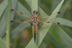 _IMG9233 Four-spotted chaser (Libellula quadrimaculata) at Messingham Sands (Pete.L .Hawkins Photography) Tags: fourspotted chaser libellula quadrimaculata messingham sands petehawkins petelhawkinsphotography petelhawkins petehawkinsphotography 150mm irix macro pentaxpictures pentaxk1 petehawkinsphotographycom f28 11 fantasticnature fabulousnature incrediblenature naturephoto wildlifephoto wildlifephotographer naturesfinest unusualcreature naturewatcher insect invertebrate bug 6legs compound eyes creepy crawly uglybug bugeyes fly wings eye veins flyingbug flying odonta four spotted skimmer dragonfly