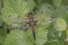 _IMG9248 Four-spotted chaser (Libellula quadrimaculata) at Messingham Sands (Pete.L .Hawkins Photography) Tags: fourspotted chaser libellula quadrimaculata messingham sands petehawkins petelhawkinsphotography petelhawkins petehawkinsphotography 150mm irix macro pentaxpictures pentaxk1 petehawkinsphotographycom f28 11 fantasticnature fabulousnature incrediblenature naturephoto wildlifephoto wildlifephotographer naturesfinest unusualcreature naturewatcher insect invertebrate bug 6legs compound eyes creepy crawly uglybug bugeyes fly wings eye veins flyingbug flying odonta four spotted skimmer dragonfly