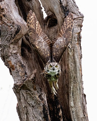Angel Wings (Jen St. Louis) Tags: owls owl greathornedowl wings captive canadianraptorconservancy nikond750 nikon70200mm28 jenstlouisphotography wwwjenstlouisphotographycom bird birds prey raptors