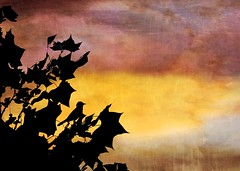 Morning silhouettes. (jeanne.marie.) Tags: sycamoretree colorful textured morning tree sycamore male baltimoreoriole silhouettes wildlifesilhouettes