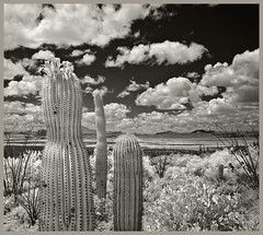 Gates Pass IR #19 2019; Looking West (hamsiksa) Tags: arizona tucson pimacounty sonorandesert desert mountains tucsonmountains basinandrange plants flora desertplants xerophytes succulents cacti cactus cactaceae saguaros carnegieagigantea opuntia pricklypear ocotillo blackwhite infrared digitalinfrared