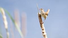 marsh wren (quadceratops) Tags: massachusetts nature concord great meadows national wildlife refuge marsh wren