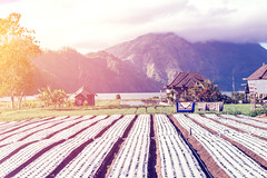 Balinese farm