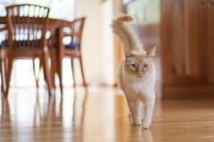 Eye-level (vtom61) Tags: cat flamepointsiamese sonyzeissfe55mm18 sonya7riii bokeh