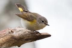 American Redstart (Lyall Bouchard) Tags: americanredstart bird kingston novascotia