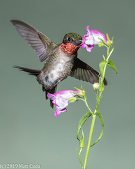 Ruby-throated Hummingbird (Matt Cuda - www.mattcuda.com) Tags: usa amazing beautiful bird birds flower green hummer hummingbird nc northcarolina ruby rubythroated throated wildlife