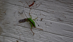 Insect On An Exterior Wall. (dccradio) Tags: lumberton nc northcarolina robesoncounty outdoor outdoors outside nature natural insect green greeninsect siding dirt wall may tuesday tuesdayevening goodevening nikon d40 dslr photooftheday photo365 project365 bug wildlife