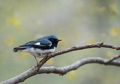 Black Throated Blue Warbler Striking a pose! (rmikulec) Tags: black throated blue warbler birding nature bird animal ornithology spring migration sony a7riii