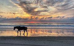 this, horse headed North👀 by Kate Coulter [Yes, Walt Snyder Posted this] (Walt Snyder) Tags: ocean shoreline outerbanks northcarolina beach waves spiritual sand horizon horse pony wildhorses portrait sunrise reflections clouds glorious silhouette