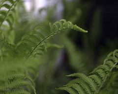 vern the fern (zawaski -- Thank you for your visits & comments) Tags: alberta 4hire canada beauty naturallight noflash macro light serves zawaski©2019 calgary love sunset paris ambientlight revisit 2007 lovepeace editing canonef50mmf25macro