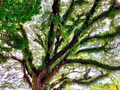 Epiphytes (simonmgc) Tags: cairns epiphytes esplanade fern fogartypark queensland tree