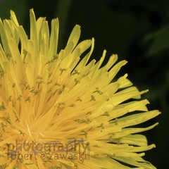 dandelion, up close and personal (zawaski -- Thank you for your visits & comments) Tags: alberta 4hire canada beauty naturallight noflash macro light serves zawaski©2019 calgary love sunset paris ambientlight revisit 2007 lovepeace editing canonef50mmf25macro