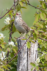 A vesper in the saskatoons (jbinpg) Tags: vespersparrow pooecetesgramineus male singing saskatoonbush princegeorge bc canada