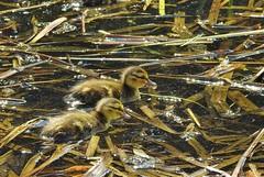 Nikon P900, Ducklings, Botanical Gardens, Montréal, 20 May 2019 (11) (proacguy1) Tags: nikonp900 ducklings botanicalgardens montréal 20may2019
