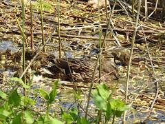 Nikon P900, Ducklings, Botanical Gardens, Montréal, 20 May 2019 (1) (proacguy1) Tags: nikonp900 ducklings botanicalgardens montréal 20may2019