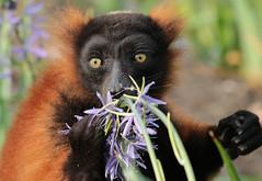 red ruffed lemur artis 094A0202 (j.a.kok) Tags: animal aap africa afrika artis mammal madagascar halfaap vari lemur rodevari redruffedlemur primate primaat zoogdier dier
