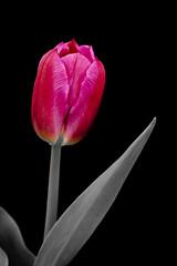 Purple Tulip (Claude Tomaro) Tags: claude tomaro tulip purple flower blackandwhite