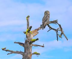 Great Gray Owl (male) (Khanh B. Tran) Tags: