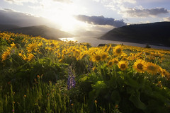 mosier (Roots|Photography) Tags: mosierplateau columbiariver balsamroot lupine spring sunset oregon flowers bloom river mosier