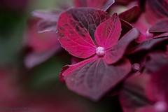 Hortensie (Hydrangeaceae) (günter mengedoth) Tags: irix150mmf28macro11 irix 150mm f28 macro 11 hortensie manuell makro pentaxk1 pentax blume blüte bokeh strauch garten nature natur nahaufnahme cof078dmnq