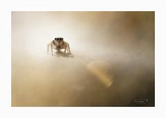 oOOo (Alain Bayeul) Tags: araignée saltique oooo nikon sigma d800 150mm macro