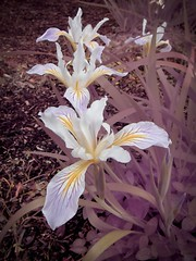 Irises - DYI - infrared (JSB PHOTOGRAPHS) Tags: img2492 irises dyi infrared canon powershot a590 diy full spectrum camera conversion powershota590is