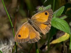 P8140164.jpg (jh33670) Tags: amaryllis insecte papillon animal