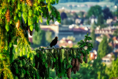 Singing Bird (LeWelsch Photo) Tags: singing bird blackbird amsel merle turdusmerula silhouette firs firstop sky ilce6000 a6000 sel55210 bern switzerland lewelsch lewelschphoto swissphotographers