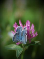 Argus bleu (danielled61) Tags: papillon argus bleu vert rose printemps butiner butterfly bois macro mai
