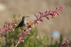 Sunbird (David Lev) Tags: nirim mygarden plant hesperaloeparviflora bird sunbird female