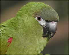 DSC_7187 Parkiet (johann.spies) Tags: poicephalus parrot parkiet voël bird