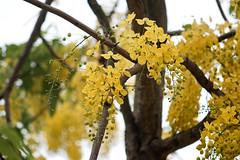 Muồng hoàng yến (Cassia fistula) (luongsangit58) Tags: fujifilm minolta flower hoa fujifilmxt10 fuji