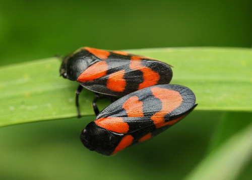 red and black froghoppers
