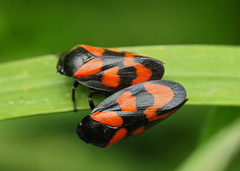 red and black froghoppers (Johnson Cameraface) Tags: 2019 may spring olympus omde1 em1 micro43 mzuiko 60mm macro f28 johnsoncameraface froghopper redandblackfroghopper mating pottericcarrnaturereserve yorkshirewildlifetrust doncaster southyorkshire ywt pottericcarr naturereserve cercopisvulnerata