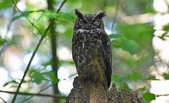 Wink, wink (Snixy_85) Tags: greathornedowl owl bubovirginianus