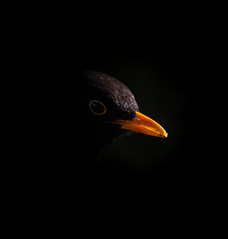 Svarttrost (Blackbird) (svein.melum) Tags: valen fugler motlys spotlys wild wildlife nature norway