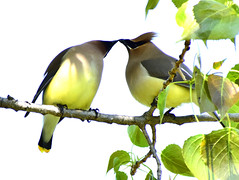 Waxwings (mrsparr) Tags: waxwings toronto ontario canada scavenger7 ansh