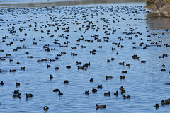 Coots, Coots, Coots! (philk_56) Tags: western australia perth joondalup bird coot water lake