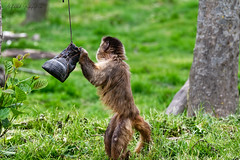 Hey, When Is That Guy In The Red Coat Coming? (Alfred Grupstra) Tags: animal mammal nature wildlife cute outdoors small grass pets animalsinthewild brown younganimal fur forest fun primate playful looking sitting shoe