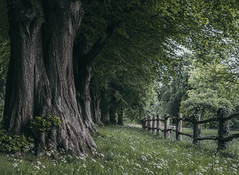 Tree lined path (V Photography and Art) Tags: lineoftrees trees fence path lines nature green grass spring treelined