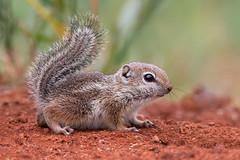Harris's antelope squirrel (Eric Gofreed) Tags: arizona harrissgroundsquirrel harrissantelopesquirrel mybackyard sedona squirrel villageofoakcreek