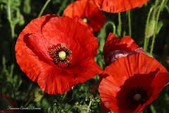 Tempo di Papaveri - Poppies time (francescociccotti1) Tags: