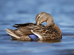 Mallard (PhotoLoonie) Tags: mallard duck waterbird wildlife nature blue water attenboroughnaturereserve