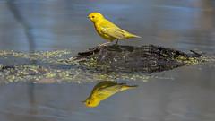Yellow Warbler  0621 (Paul McGoveran) Tags: bird nature nikon500mmf4 nikond850 ontario peleenationalpark warbler