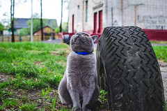 Fat cat hunts birds (ivan_volchek) Tags: adorable animal attractive beautiful beauty breed british cartesiancat cat chartreux cheerful curious cute domestic eye eyes feline fluffy french frolicsome funny fur garden grass gray grayblue green grey happy kitten kitty mammal outdoor pedigreed pet pets playful playing portrait pretty purebred scottish shorthair sitting surprised view young