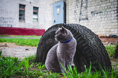 Graceful and noble breed Chartreux cat sitting next to a tire embedded in the ground (ivan_volchek) Tags: adorable animal attractive beautiful beauty breed british cartesiancat cat chartreux cheerful curious cute domestic eye eyes feline fluffy french frolicsome funny fur garden grass gray grayblue green grey happy kitten kitty mammal outdoor pet pets playful portrait scottish shorthair surprised